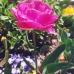 singleflower