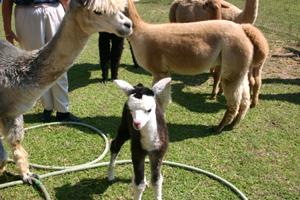alpacas-baby