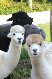alpacas-groupshot