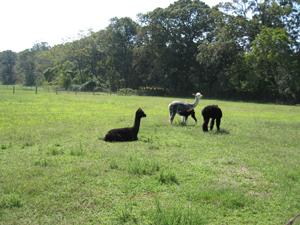 alpacas-resting