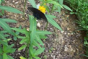 A swallowtail butterfly