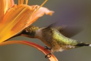 Ruby-throated-Hummingbird--yummy,-what-is-in-there