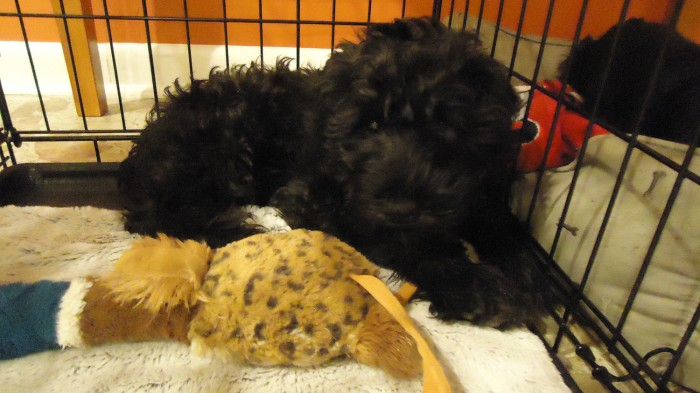 Luke - miniature schnauzer puppy at 13 weeks