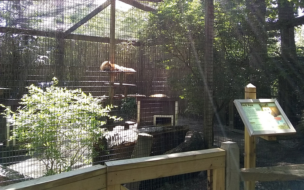 Fox at the Cape May County zoo