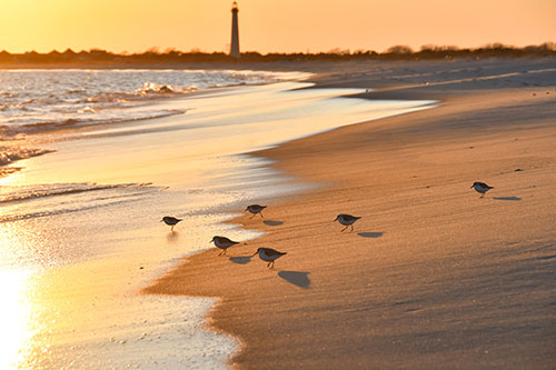 Sandpipers at the waterline at sunset with the Cape May lighthouse in the background