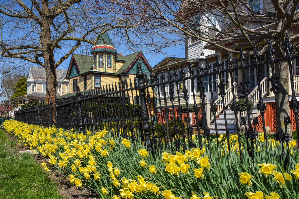 Daffodils in West Cape May