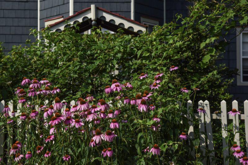 Purple Coneflowers Along Madison Avenue