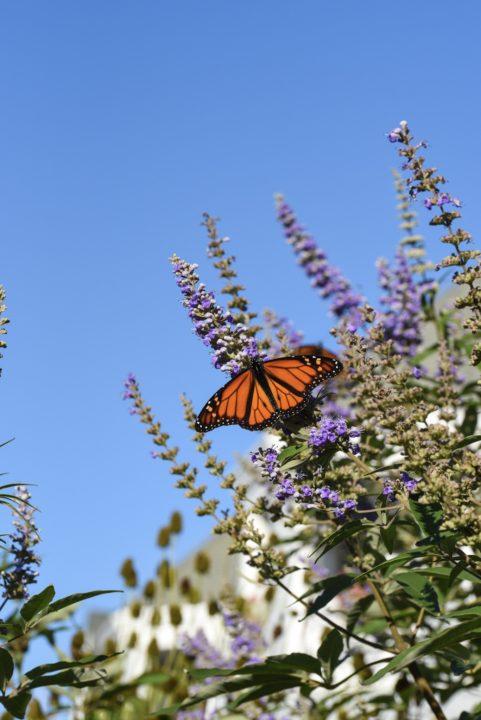 Monarch Butterfly on Beach Avenue