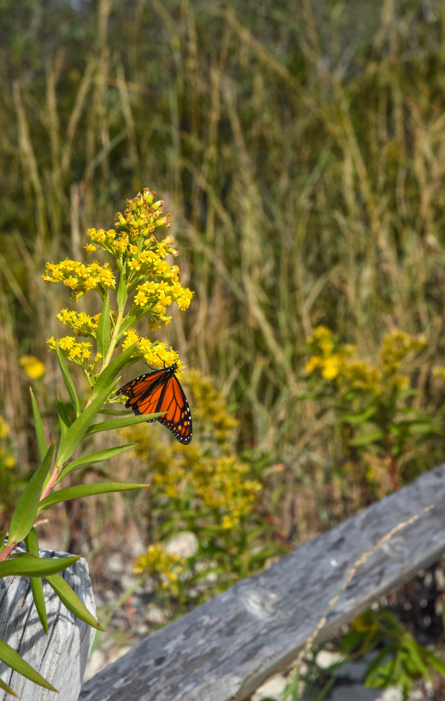 Monarch Butterfly at The Point