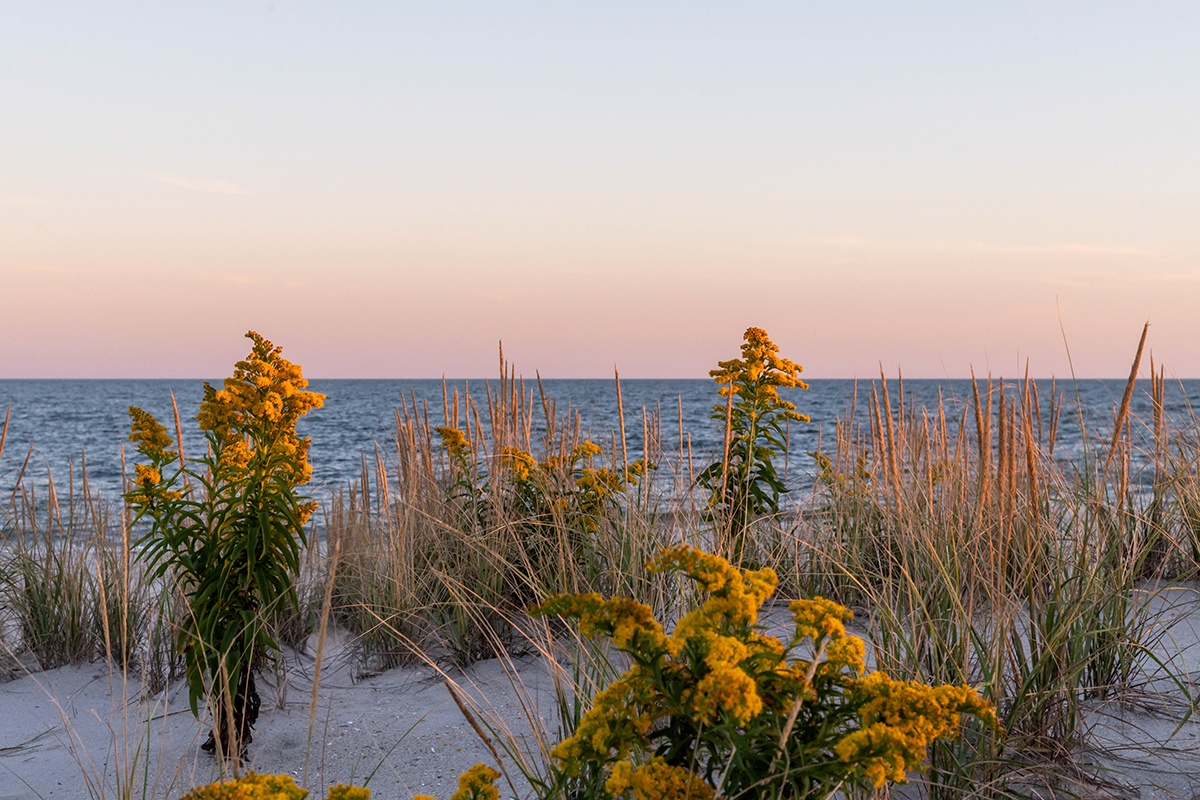 Goldenrod flowers in the beach dunes with a pink sky and the ocean in the background