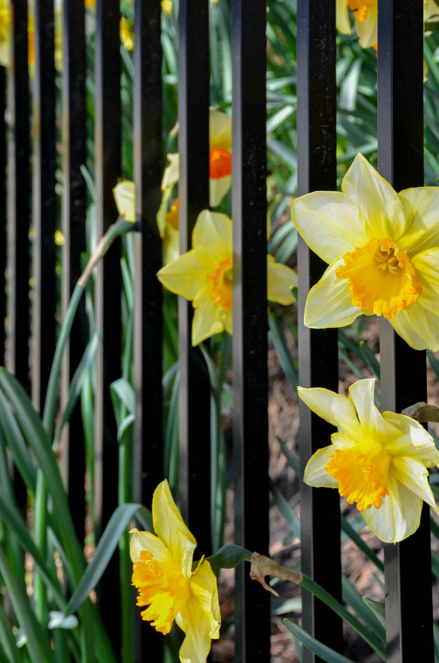 daffodils peaking out of the fence