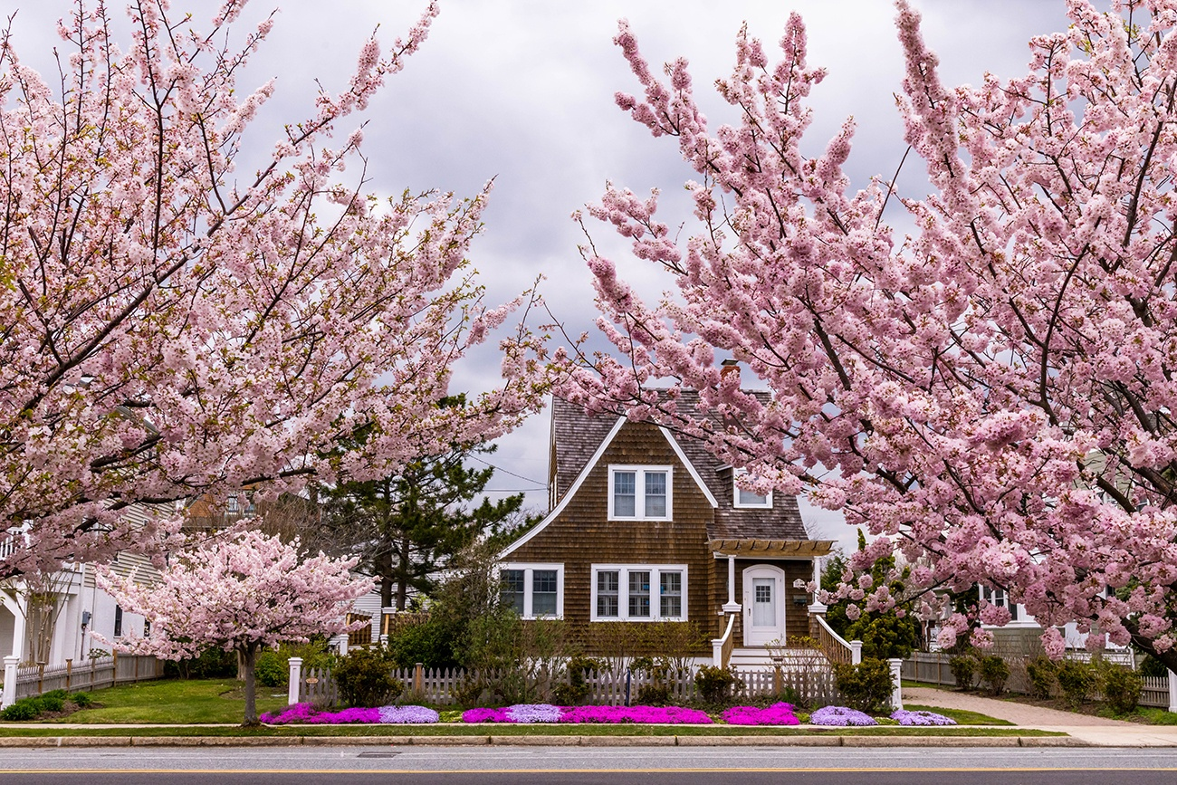 Pink cherry trees with a cedar shake brown house in the background