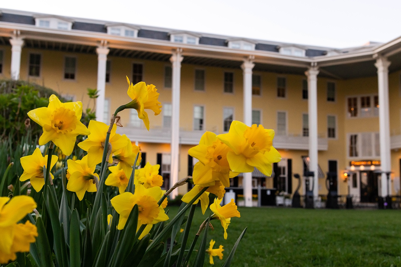 Close up view of daffodils on the front lawn of Congress Hall