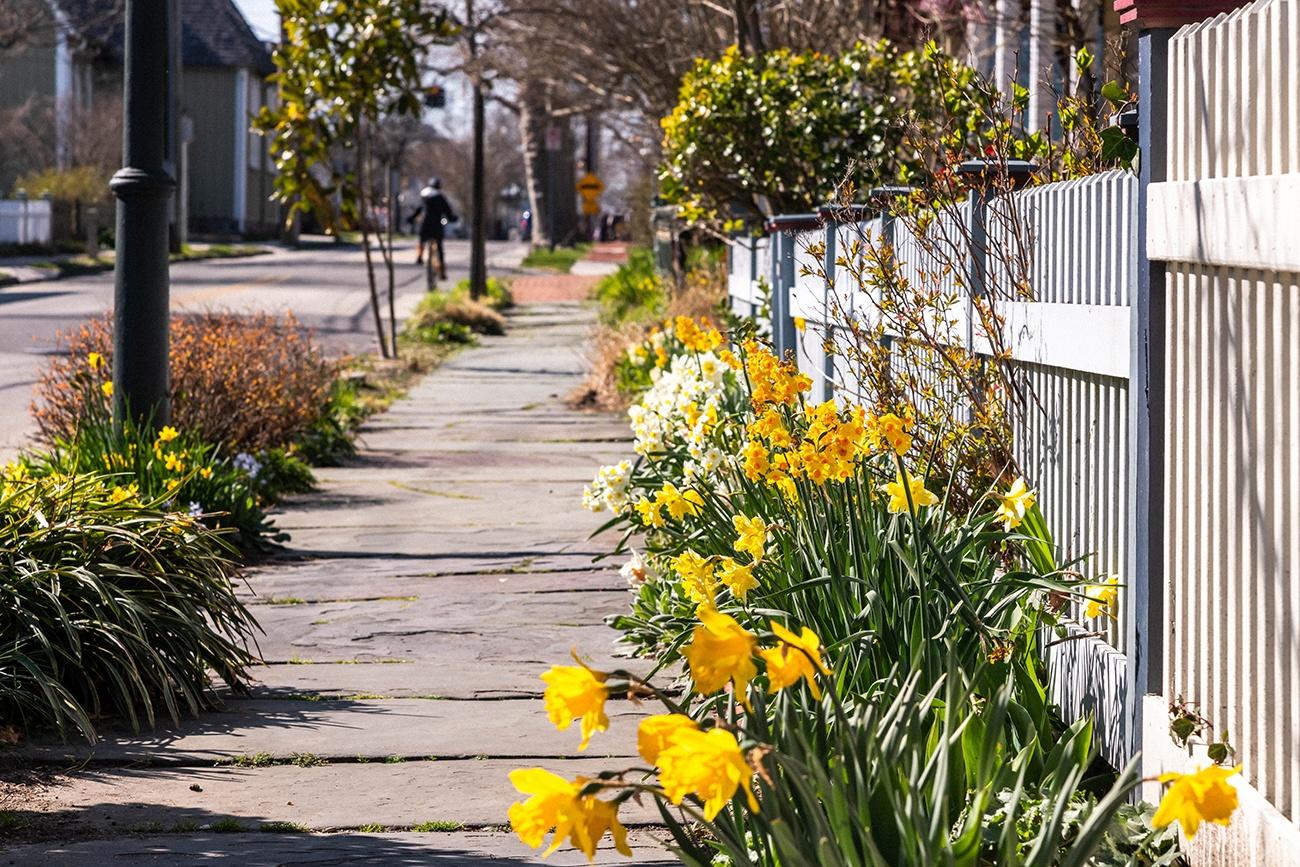 Bright yellow daffodils along a sidewalk on a sunny day
