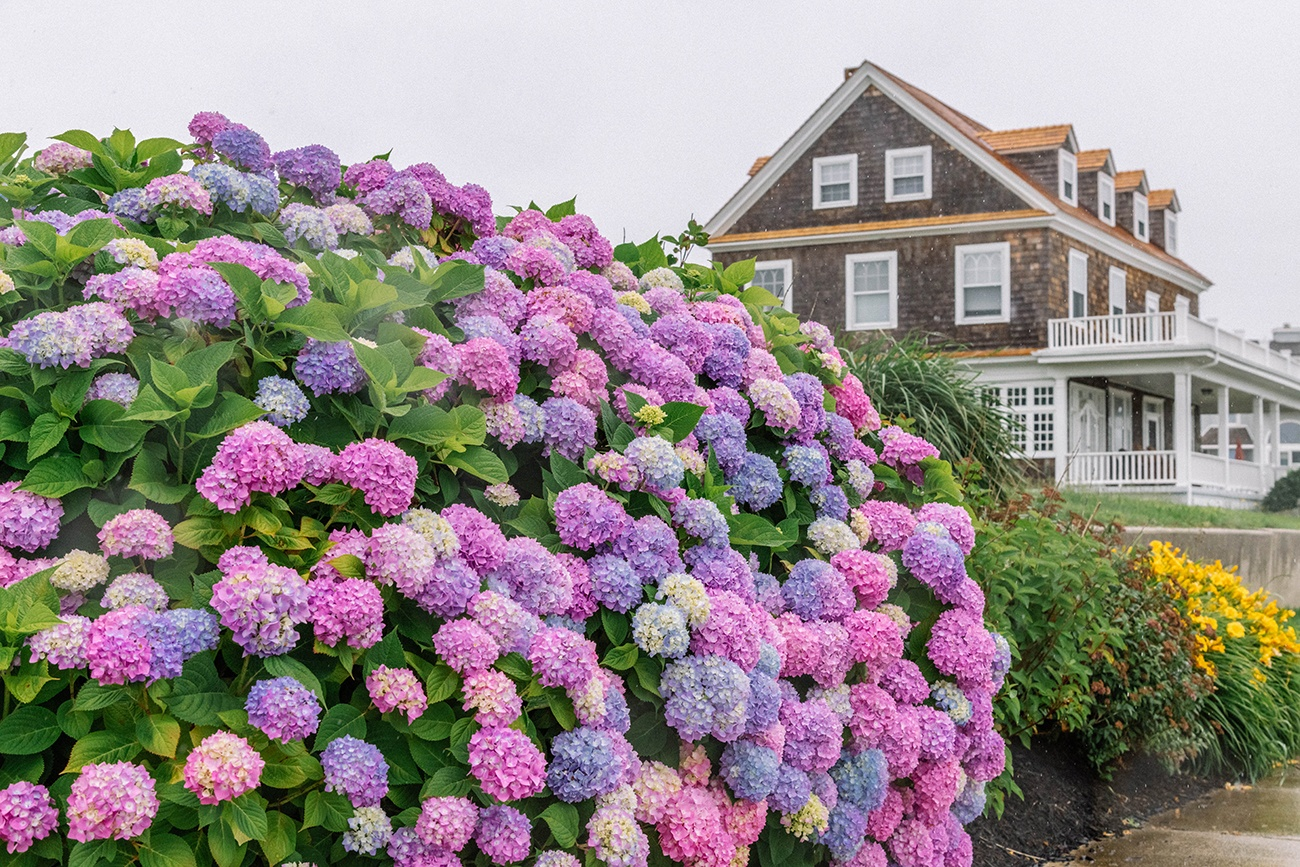 A bush of colorful pink, purple, and blue hydrangea flowers with a cedar shake brown beach house in the background