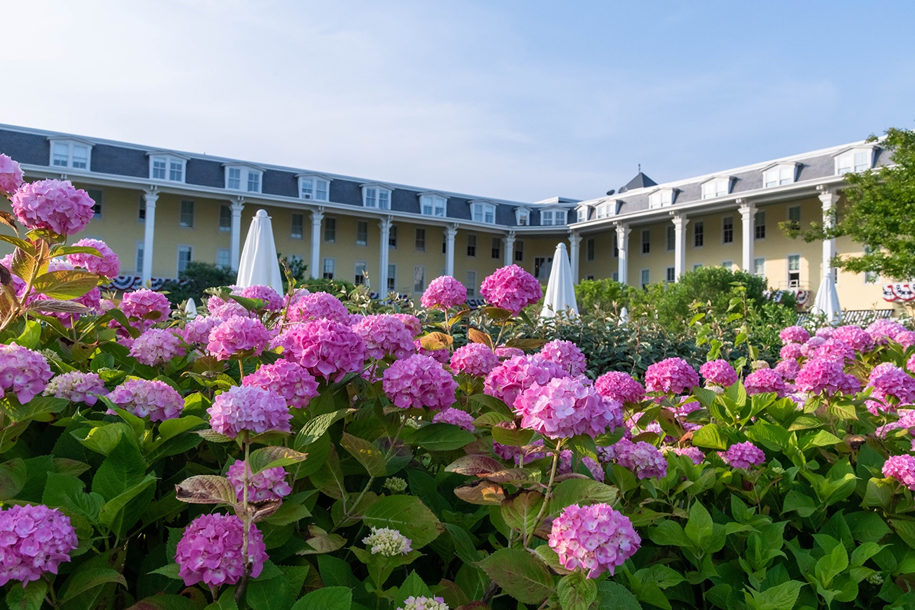 Pink hydrangea flowers in front of Congress Hall