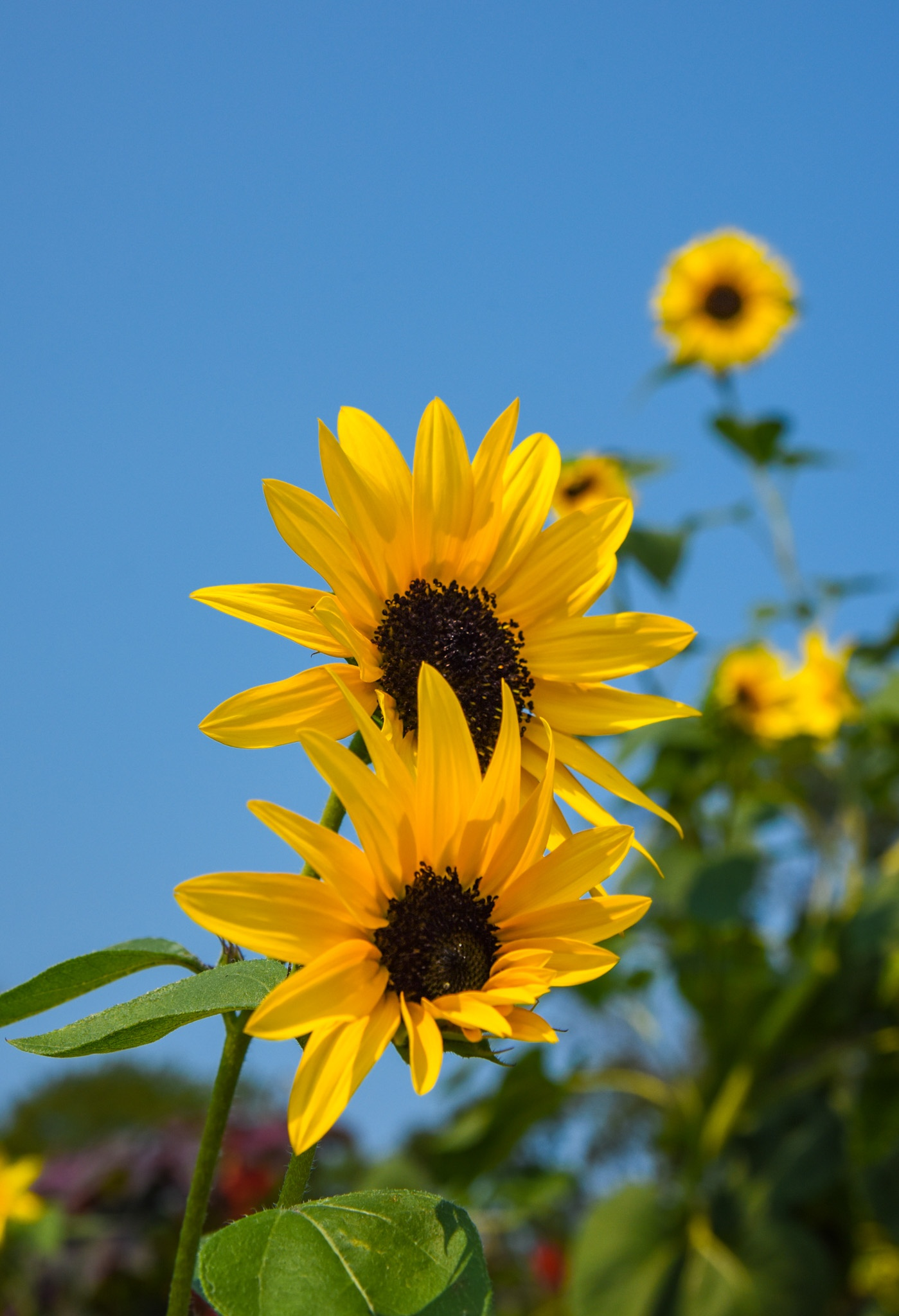 Cape May Sunflowers