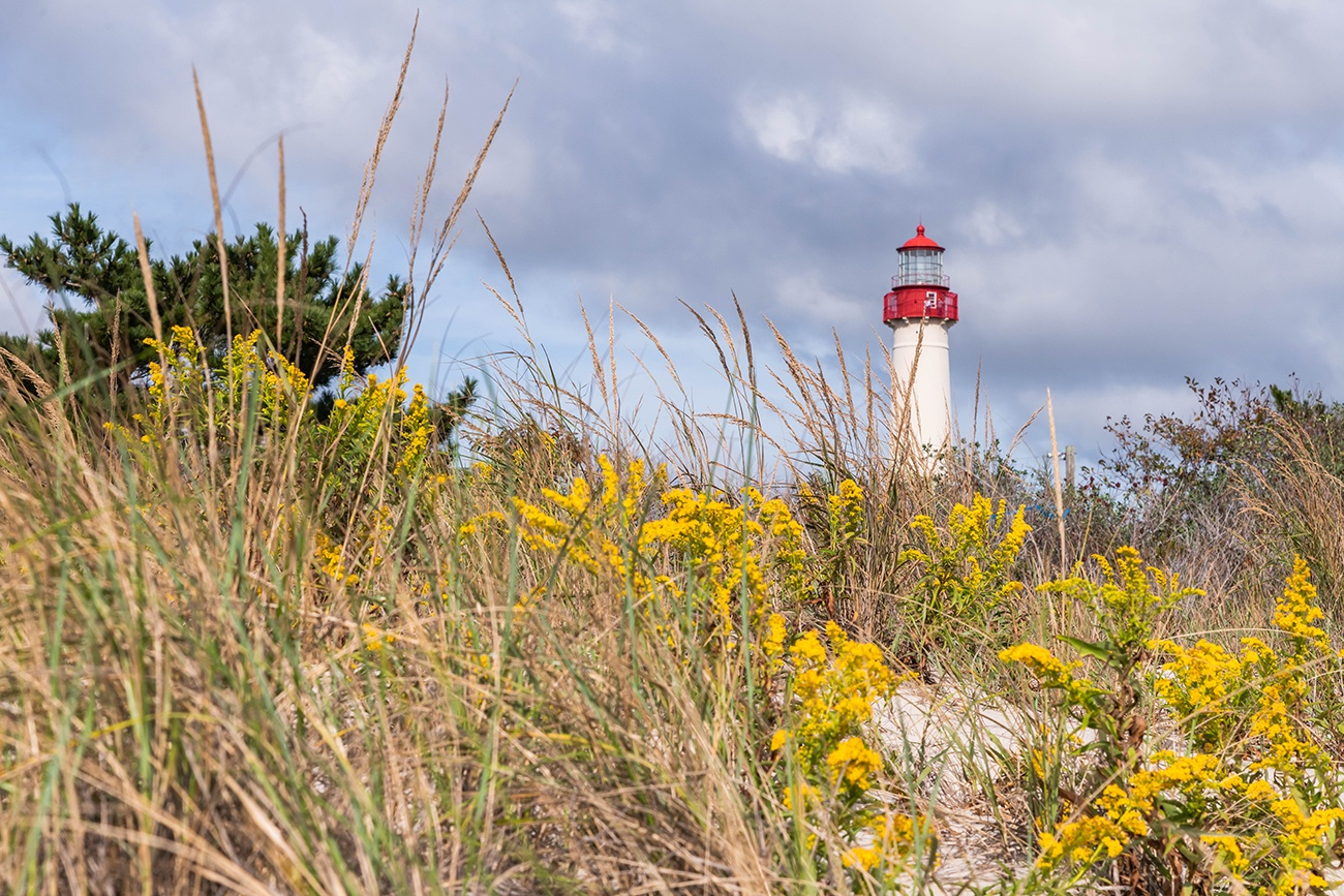 Yellow goldenrod flowers in the beach dunes with the Cape May Lighthouse in the distance with blue clouds in the sky