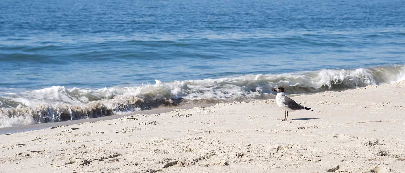 A laughing gull looking at the ocean