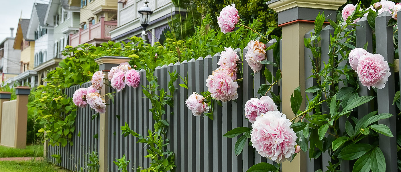 Peonies on Gurney Street